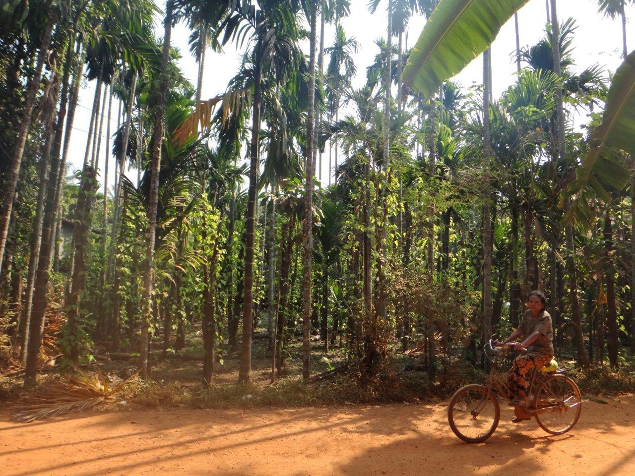 plantations de feuilles de bétel a chiquer