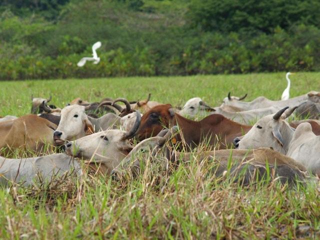 des zébus traversent les marais de kaw