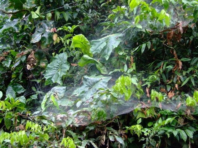 Toile d'araignées sociales araignées