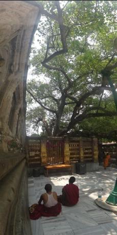 L'arbre de la Bodhi, l'arbre de l'Eveil.
