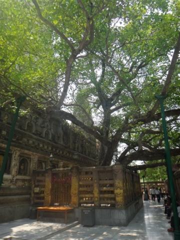 L'arbre de la Bodhi.