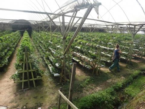 Culture hors sol de fraises