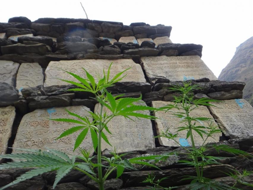 Chorten et cannabis.