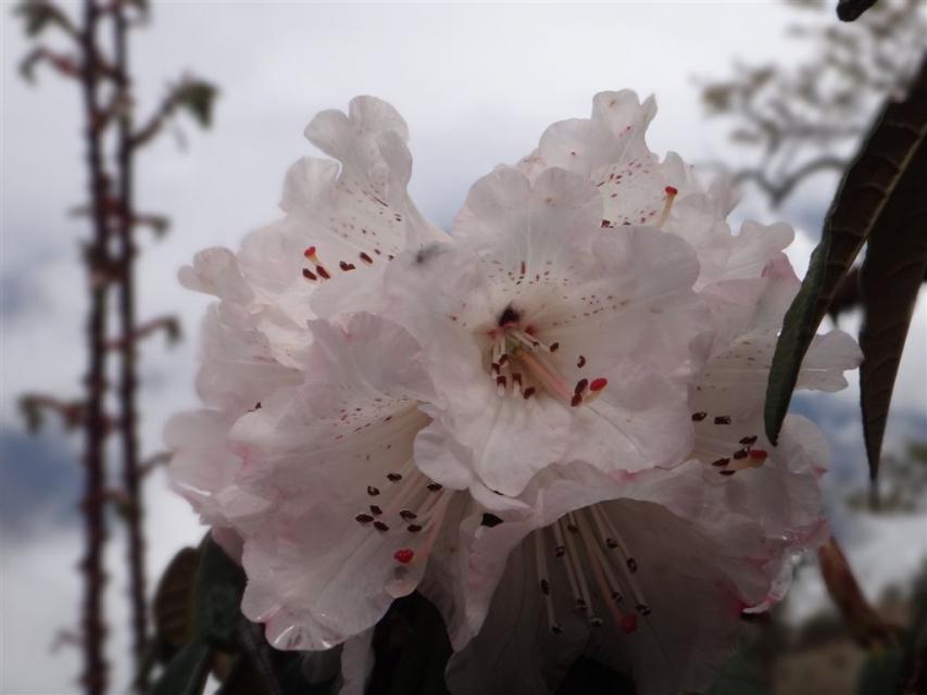 Fleur de rhododendron.