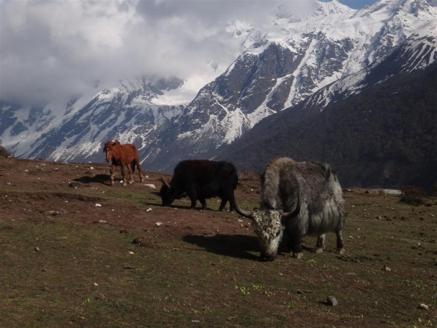yak de la vallée du Langtang