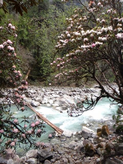 Vallée du Langtang. Rhododendrons en fleurs.