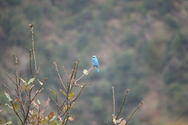 Gobemouche vert-de-gris - - Eumyias thalassinus - Verditer Flycatcher